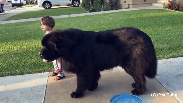 体重80キロ超の大型犬を散歩させる2歳の男の子