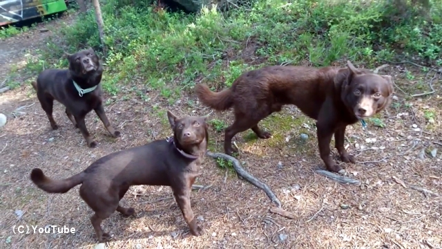 ご主人の指示があるまでピタッと止まったまま身動きしない犬たちが凄い