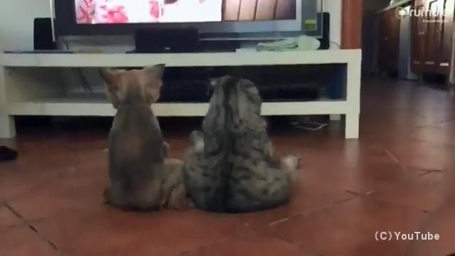 仲良く並んで座り、一緒にテレビを観ている人間の兄弟のような犬と猫