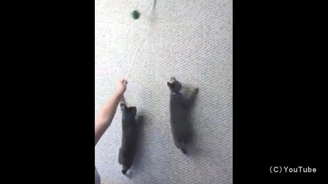 おもちゃを追いかけて壁をよじ登る子猫たちが凄い