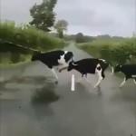障害物を避けるように何故か道路の白線を飛び越えて渡る奇妙な子牛たち