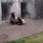 ドジで茶目っ気たっぷりなパンダのズッコケ映像集