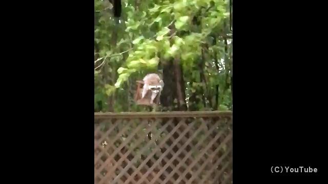 嵐にもめげず、鳥の餌箱からエサを盗み食いする貧欲な野生アライグマ