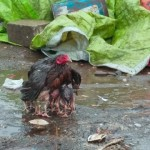 雨に濡れないように体を張って雛たちを保護するニワトリの母親の愛情溢れる光景