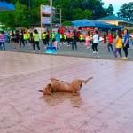キュートなフィットネスダンスを披露する犬(フィリピン)