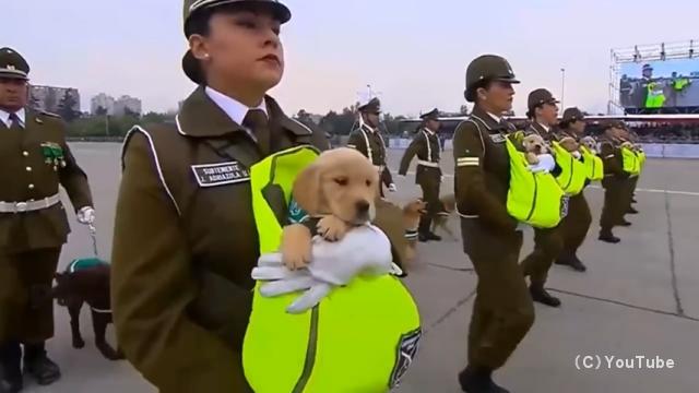チリの軍事パレードに警察犬の赤ちゃんたちが参加・・・会場が和んだ雰囲気に♪