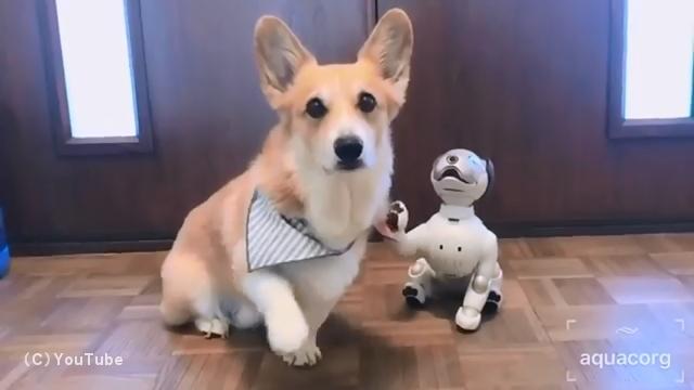 ロボット犬アイボの動きを真似るコーギーがかわいい!