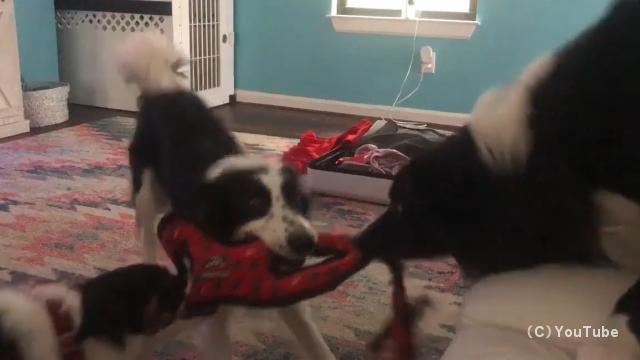 1つのオモチャを奪い合いハンドスピナーのように回り始める3匹の犬がおもしろい