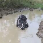 泥水に浸かる姿がまるでクロコダイルみたいなハスキー犬