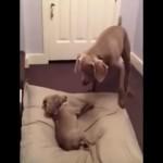 お兄ちゃんのベッドを奪い有頂天になっている子犬