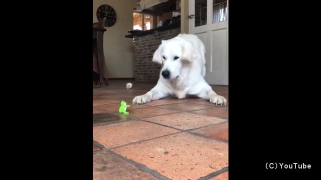 ジャンプするおもちゃのカエルに驚くゴールデンレトリバー