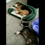 多少の不具合にも動じず、ぐっすりお昼寝中の犬
