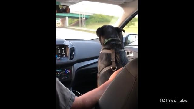 立体交差する道路の高架下を通過するたびに頭を低くする犬がおもしろ可愛い