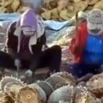 太鼓を叩くようにヒマワリを叩いて種を収穫する方法がおもしろい