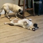 同居犬の前で死んだふりをし続ける愉快なワンコ