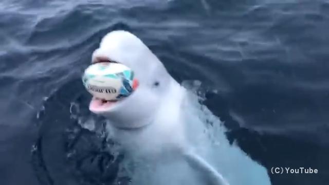 船乗りとボール遊びに興じる賢くて人懐っこい野生のシロイルカ