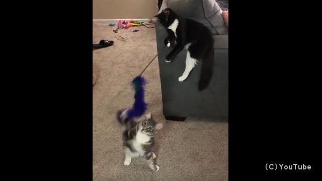 猫じゃらしで猫を操る猫がおもしろい