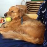 お気に入りのボールを咥えたまま今にも寝落ちしてしまいそうな犬