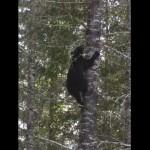 木登りをするクマの意外な速さに驚かされる