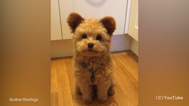 スピッツとプードルのミックス犬、スピプーが可愛い