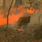 森林火災で逃げ場を失い負傷したコアラを救出するため火事に立ち向かう女性