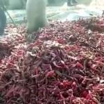 唐辛子の出荷の様子を撮影した動画に映った驚きの光景