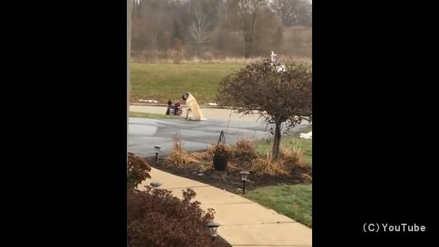 子どもたちが安全にスクールバスに乗るまで傍で見守る面倒見のいい犬