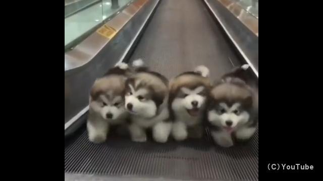 軽快な音楽に乗って歩く4匹の可愛い子犬♪