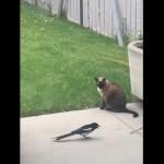 猫の尻尾にイタズラを仕掛けるカササギがおもしろい