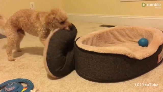 自分でベッドを整えて寝支度をする賢いワンコ