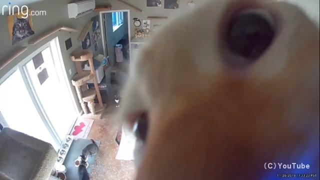 監視されていることに気付き、監視カメラを覗き込むニャンコがおもしろい