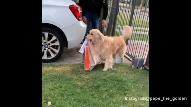 買い物袋を預かり、家の中へ運ぶお手伝いをしてくれるゴールデンレトリバー