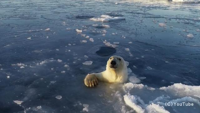ドローンを捕えようと氷を突き破って追いかけてくるホッキョクグマがおもしろい